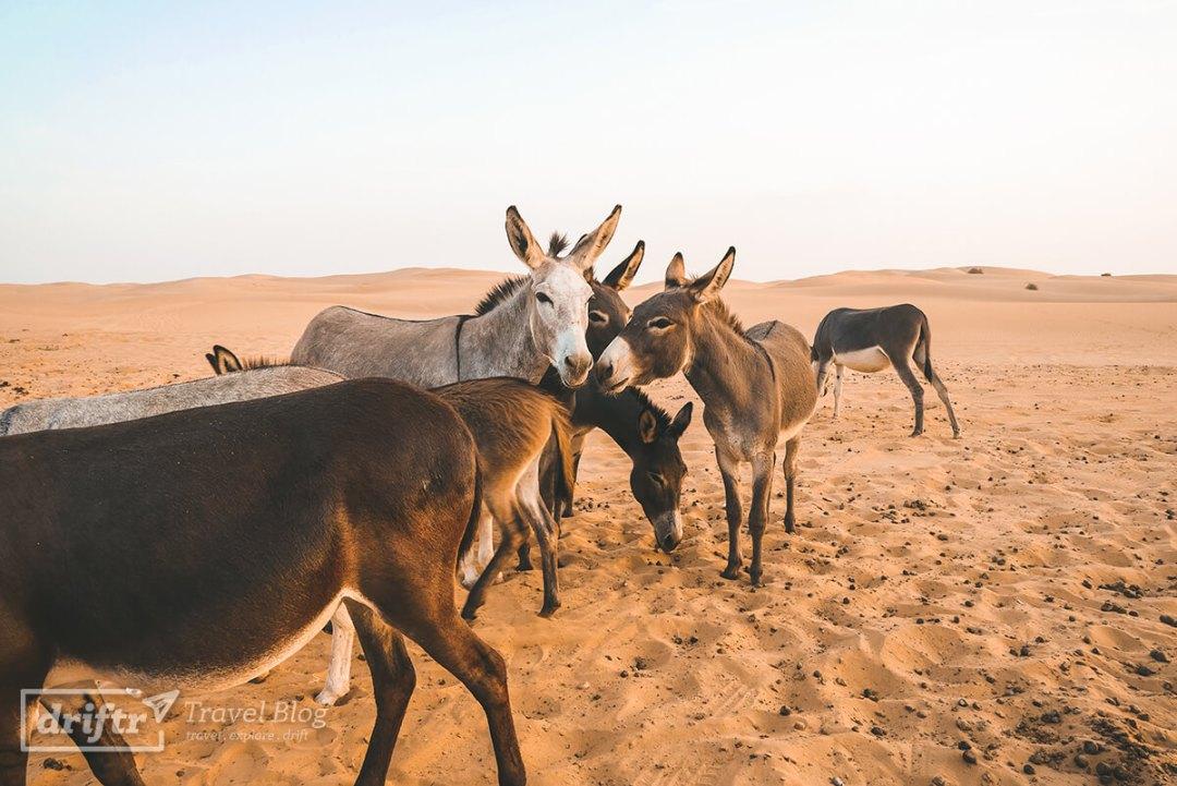 Eselherde in der Wüste