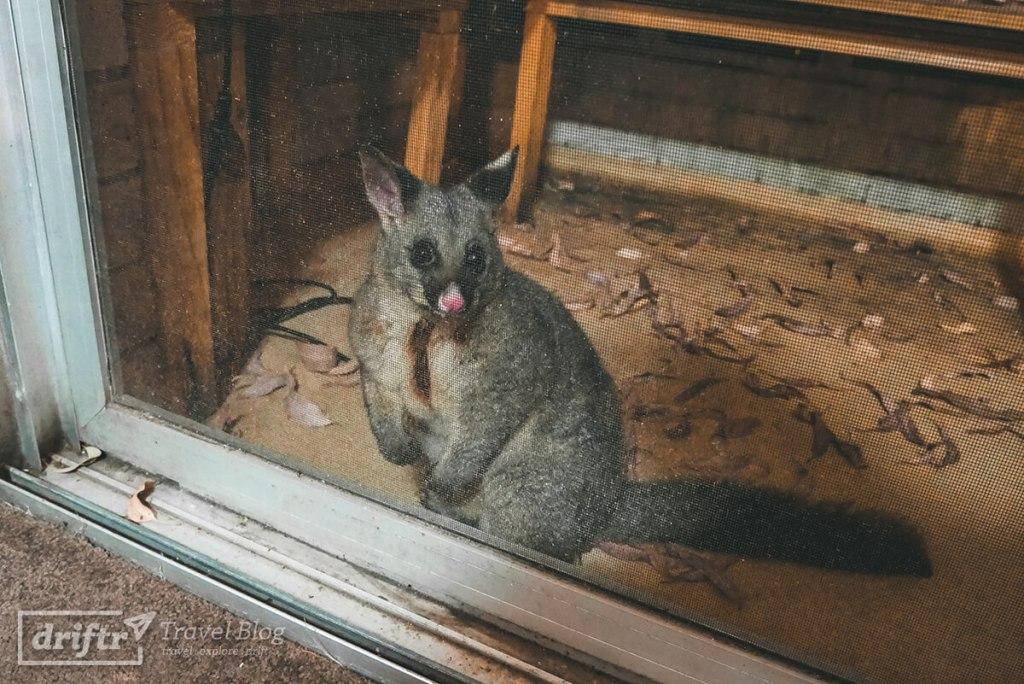Henry, unser niedliches Opossum