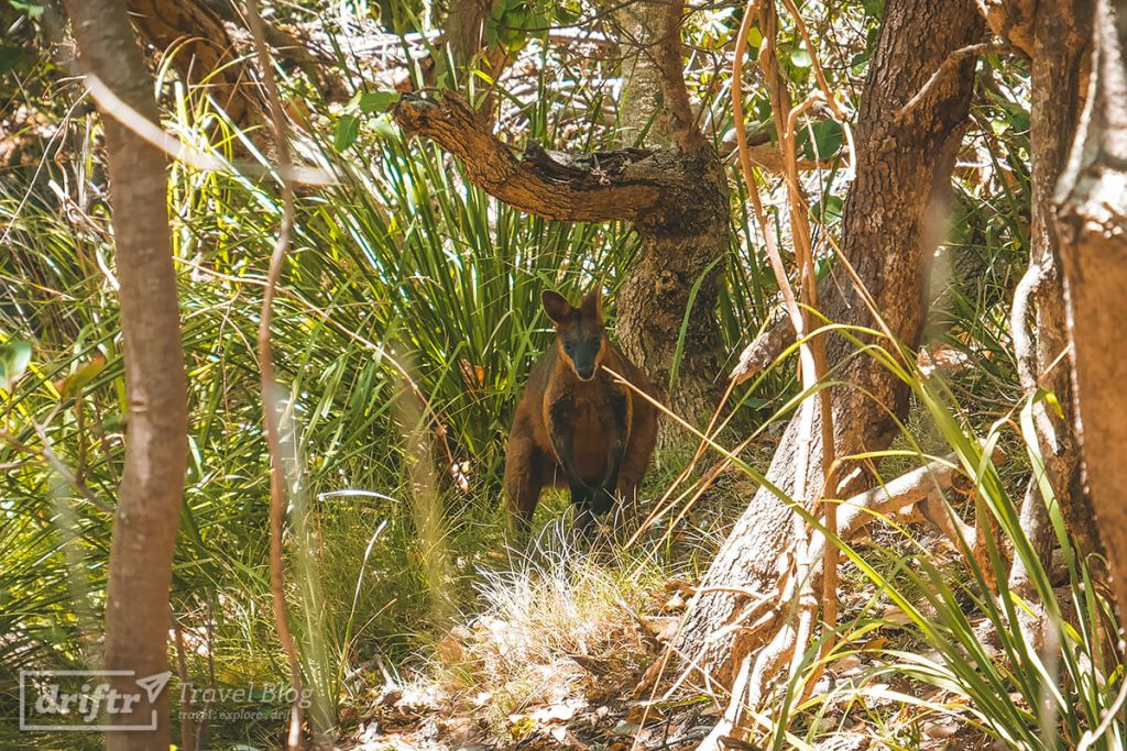 Wallaby am Cape Byron