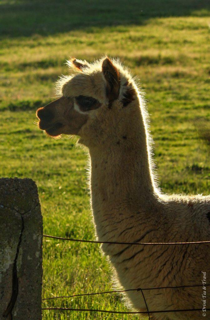 Llama in Barossa Valley