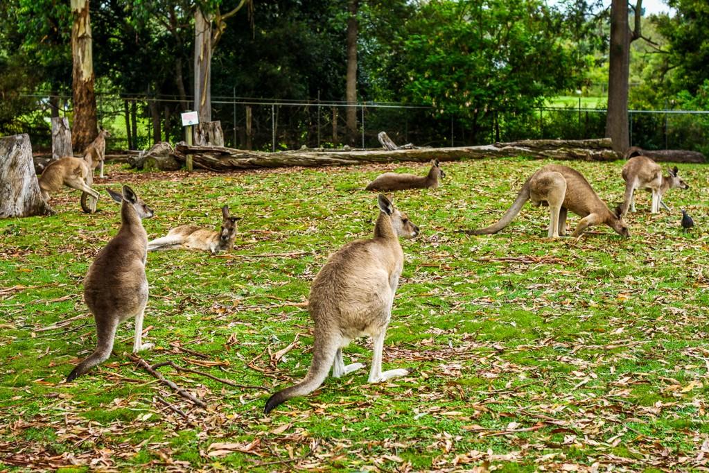 Kangaroo at Lone Pine Koala Sanctuary, Queensland