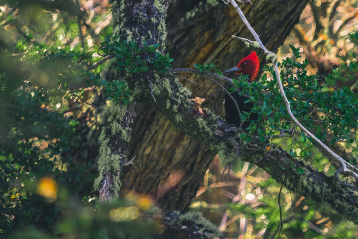 Male Magellanic Woodpecker searching for wood-boring grubs and beetles on a tree in Patagonia, Chile