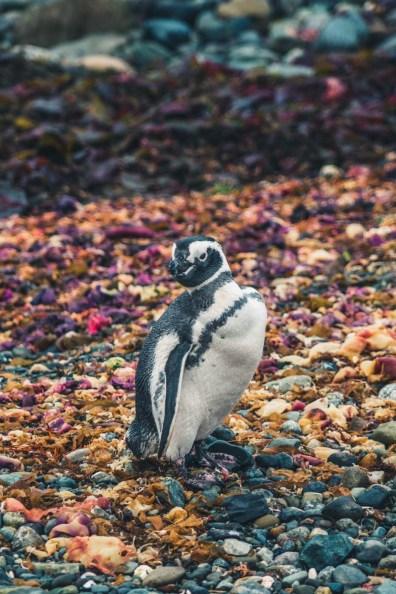 Chile Punta Arenas penguin-8891