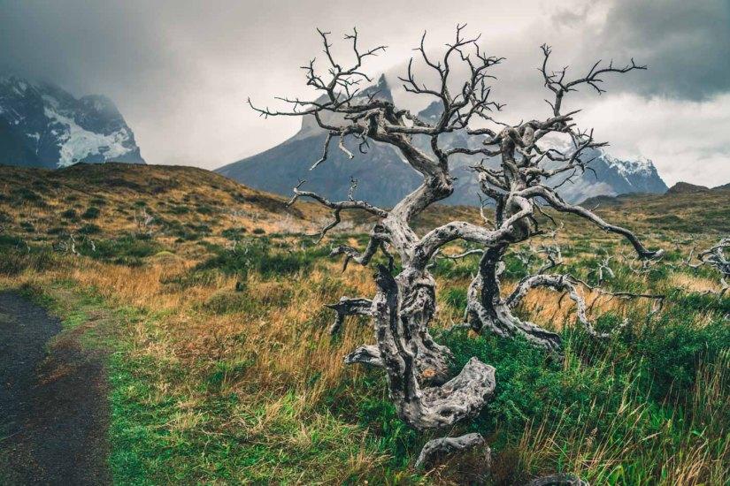 Torres del Paine W Trek Fire damaged tree in Torres del Paine National Park