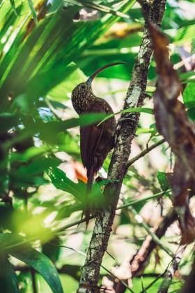 Costa Rica Osa Puerto Jimenez bird-7643