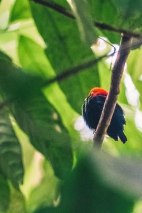 Costa Rica Osa Puerto Jimenez bird-7650