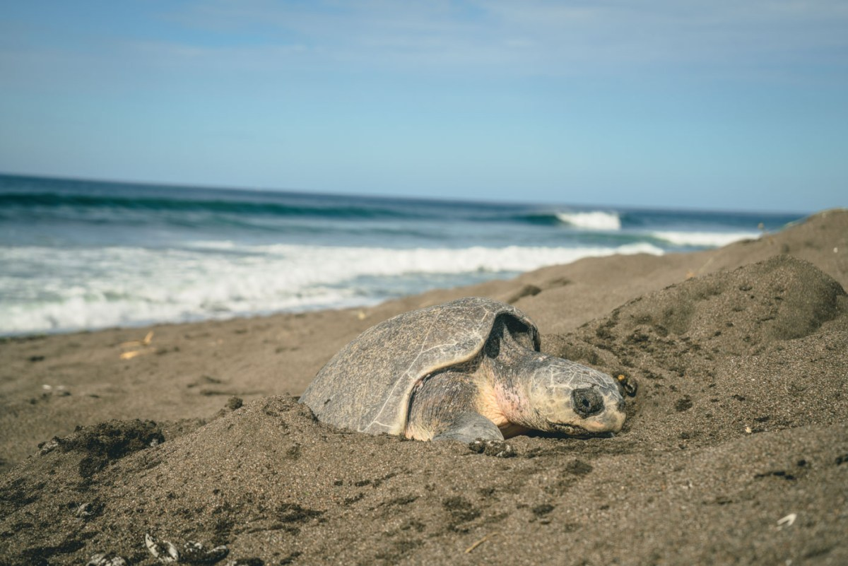 Turtle nesting in Playa Ostional
