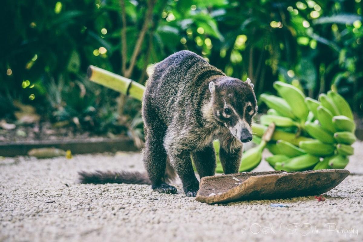 Coco, the pizote, coti. Costa Rica