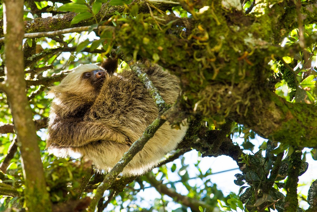 Costa Rica Animals: Two-toed sloth