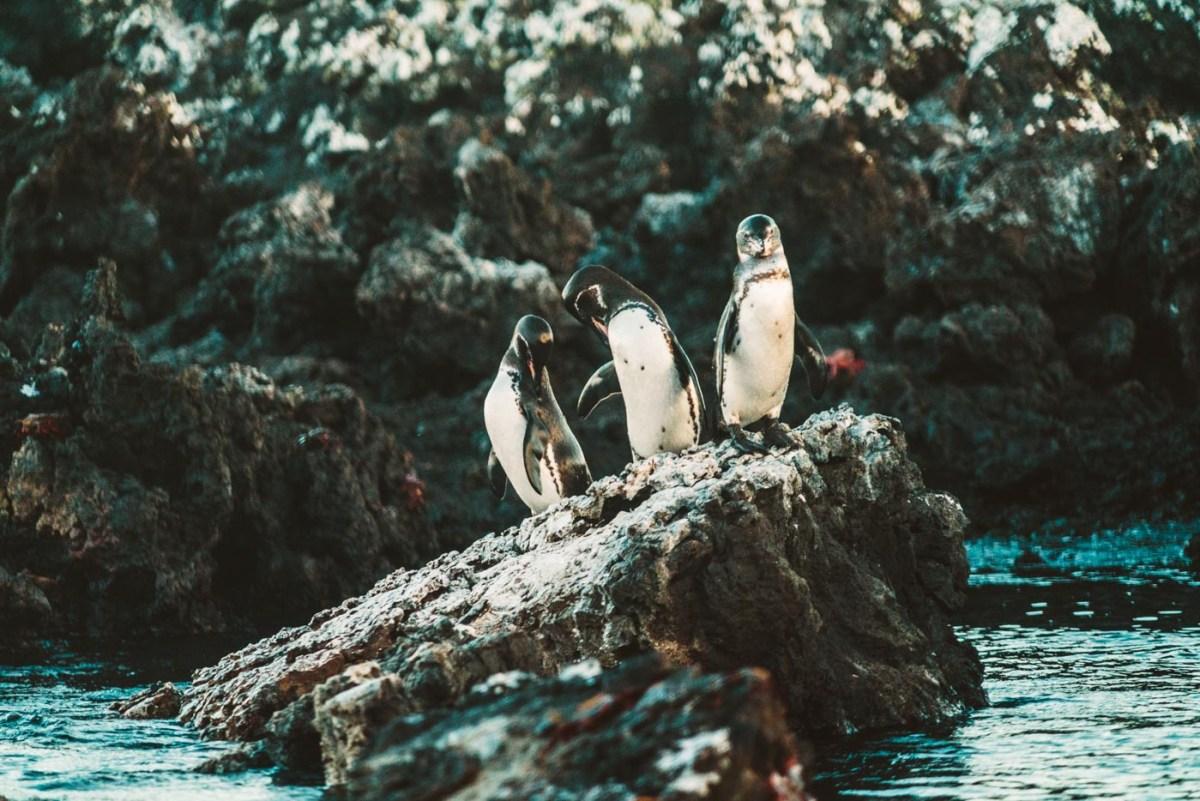 Galapagos penguins!