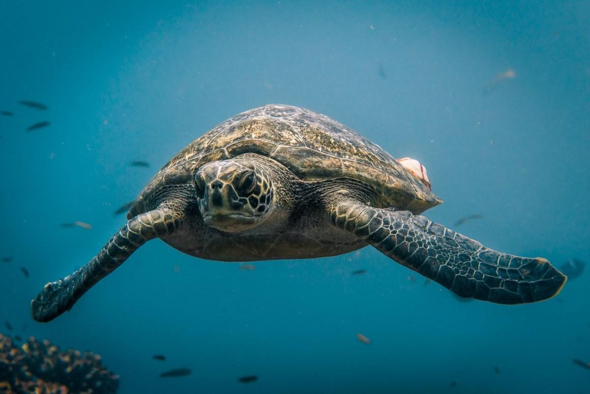 Sea turtle at the Gordon Rocks dive site off the coast of Santa Cruz Island. Galapagos