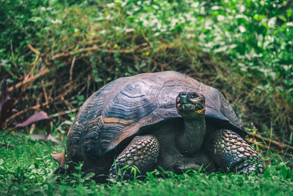 Giant tortoise roaming free at the El Chato Ranch on Santa Crus Island, Galapagos