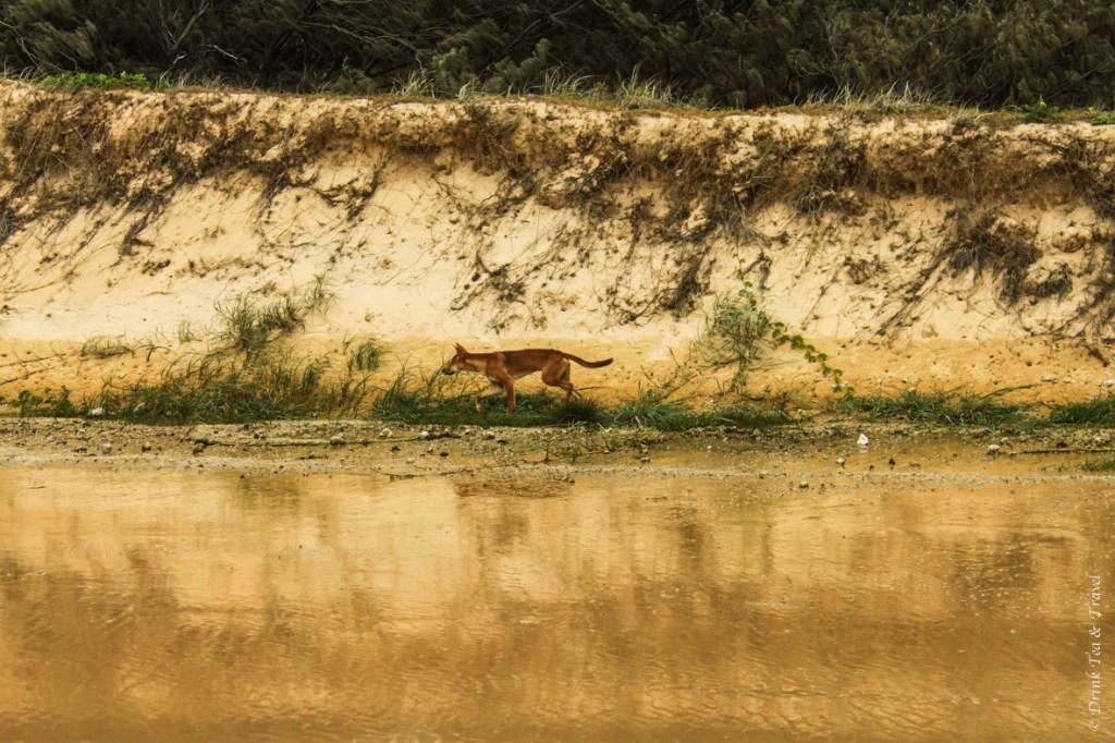 Fraser Island Tour: Dingo on beach