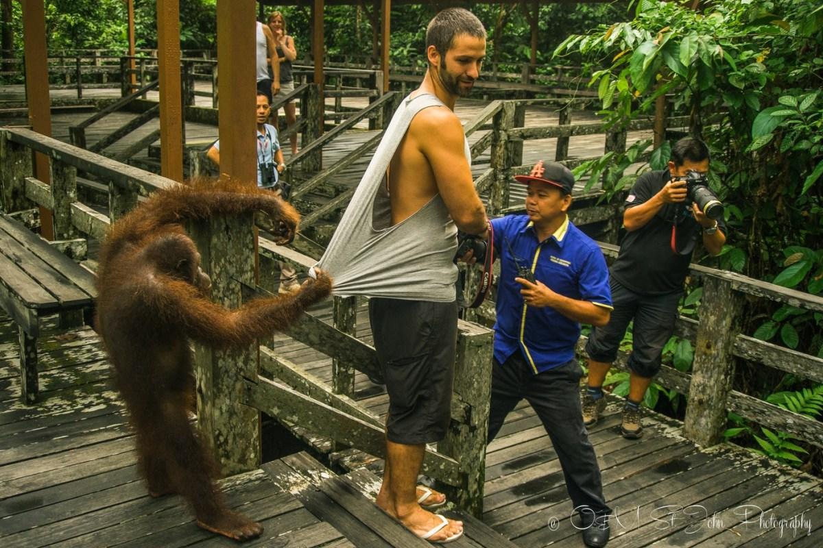 Orang Utan getting a bit too friendly with Max. Sepilok, Sabah. Malaysia