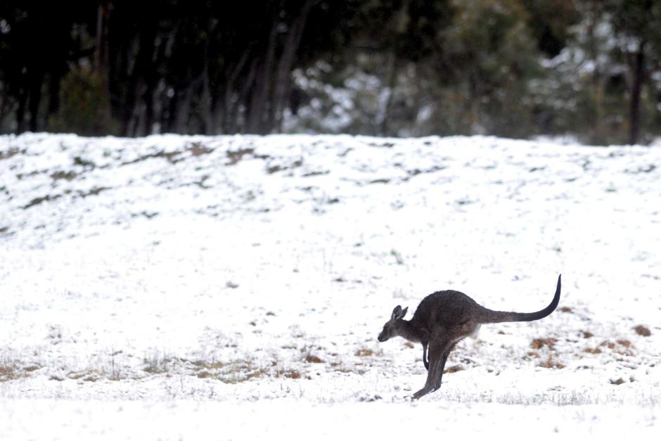 A kangaroo bounds through the snow in the Bungendore ranges near Canberra. AAP: Alan Porritt