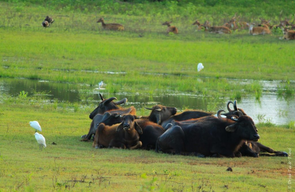 Water buffaloes at Yala National Park, Sri Lanka