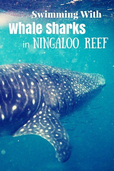 Swimming with whale sharks has been on our list for ages. We had no idea that swimming with whale sharks was something you can do right in Australia.