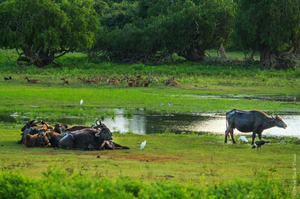 Water buffaloes are joined by other animals in Yala National Park