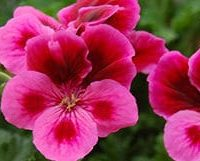 geranium-feature
