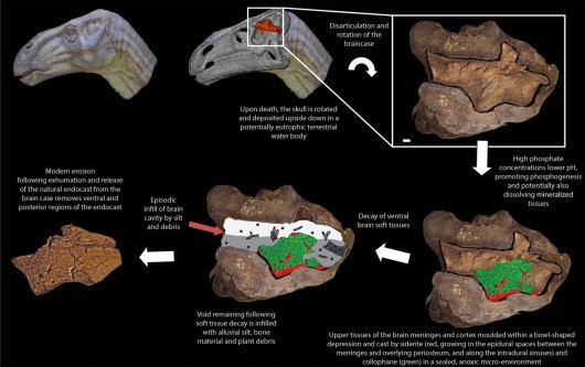 Remarkable preservation of brain tissues in an Early Cretaceous