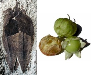Fig 1a and tomatillo