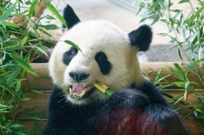 Berlin, Zoo, Panda