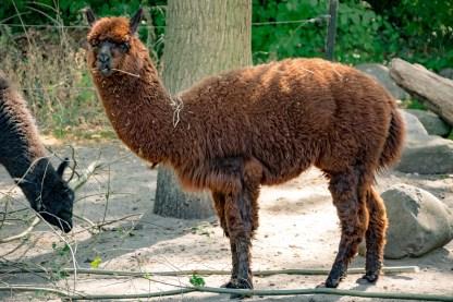 Alpaka im Zoo Berlin