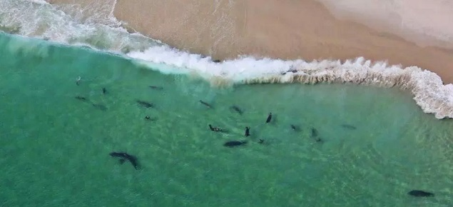 drone footage sharks cape cod