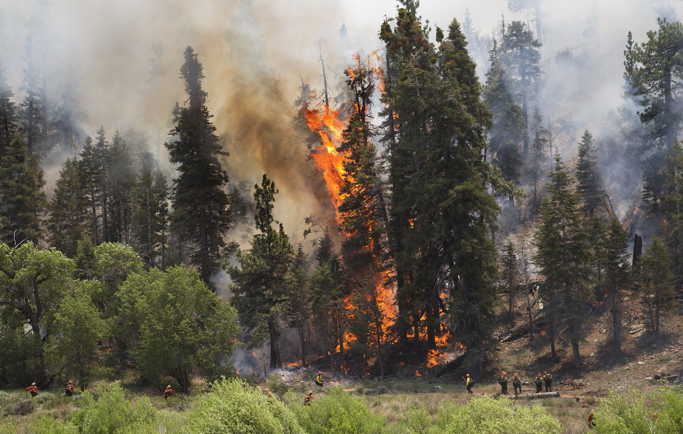 A tall pine tree erupts into flames as hotshot crews from Mill Creek keep the Lake Fire from crossing a meadow into Heart Bar Training Facility, Friday June 19, 2015 in the San Bernardino National Forest area of Angelus Oaks, Calif. (Gina Ferazzi/Los Angeles Times via AP)