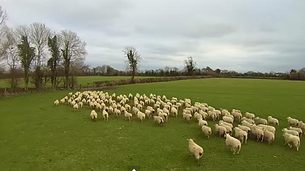 Nahánění stáda ovcí zachyceno dronem