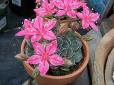 Pink flowered Succulent