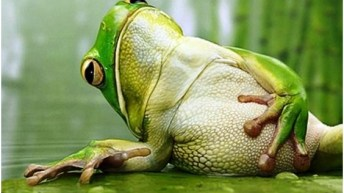 frog belly bloat