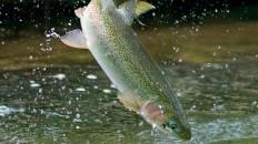 vitamin b12 trout fish