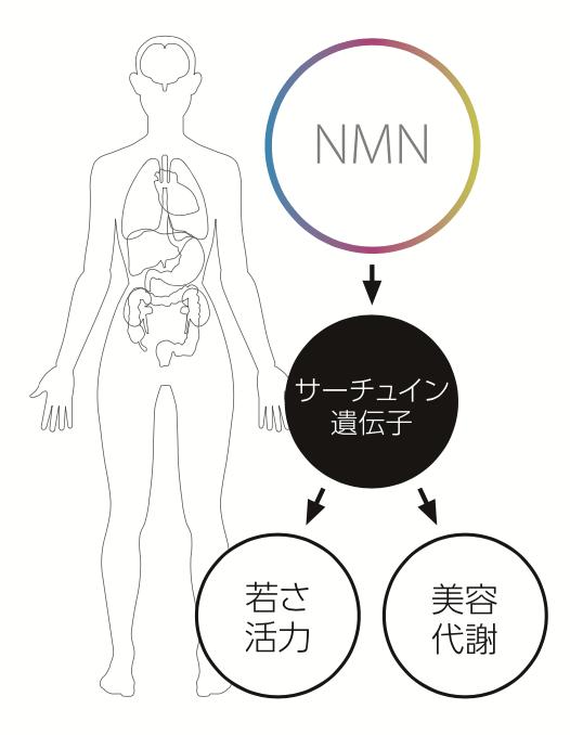 NMNはサーチュイン遺伝子を活性化