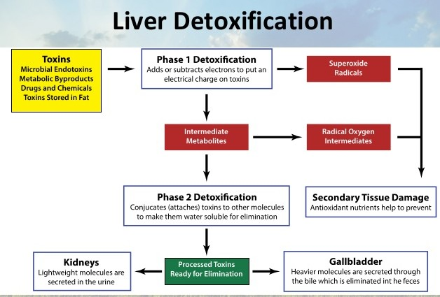 Terry willard the liver our great alchemist part 2 liver detoxification 5 638 ccuart Choice Image