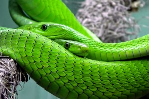 Snake Bites: First Aid, Cautions, Treatment