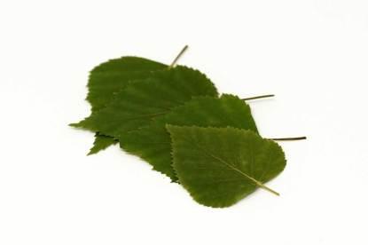 Birkenblätter energetisch