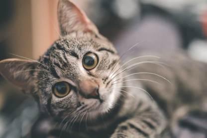 Katzenminze bringt Katzen in Ekstase