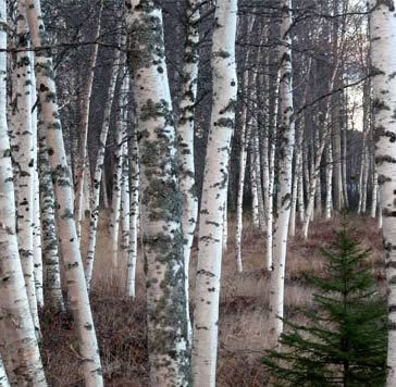 Image result for silver birches
