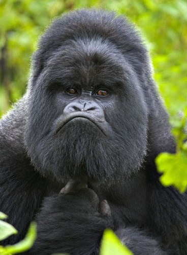 angry gorilla 368x500 angry gorilla