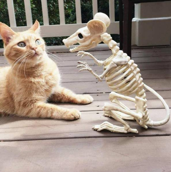 massive mouse skeleton vs shocked cat massive mouse skeleton vs shocked cat