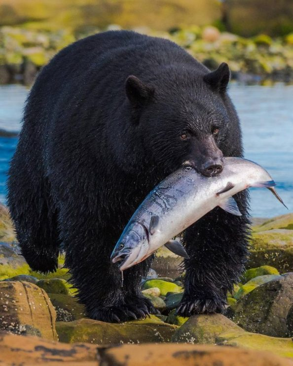 chonky bear with fish 819x1024 chonky bear with fish