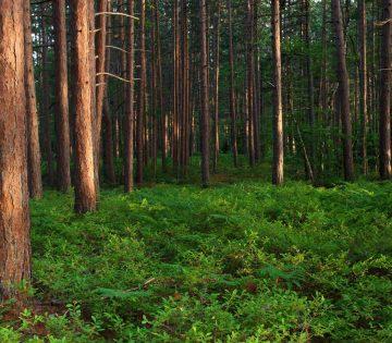 Lush Forest in Newberry Michigan