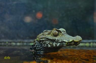 Mini krokodil
