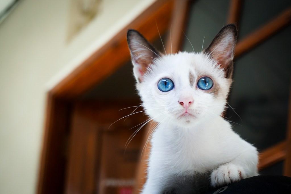 blue-eyed-cat