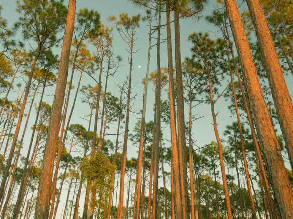Long Pine