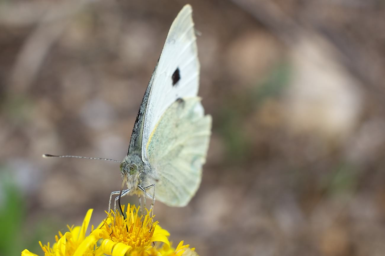 #02 Papillon