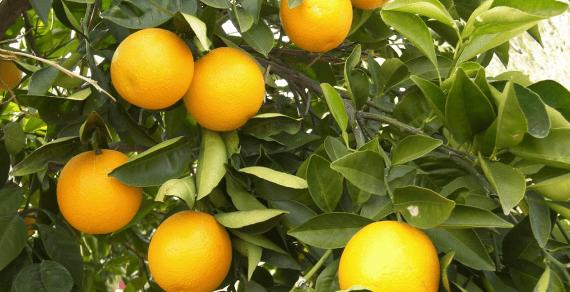 Soluções naturais à base de extratos vegetais recuperam  pomar de citros