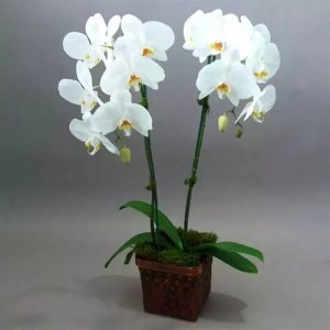 Orchid Plants 2 in 1 pot as gift