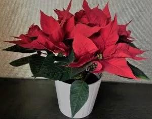 Christmas Special Poinsettia Pot Gift